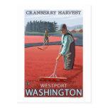 Westport, WashingtonCranberry Bog Harvest Postcard
