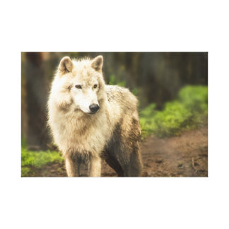 Wet Arctic Wolf in Spring Photo Canvas Print