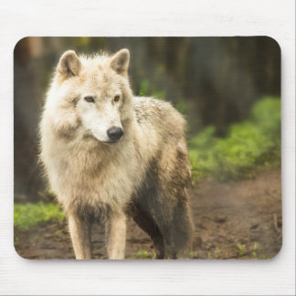 Wet Arctic Wolf in Spring Photo Mouse Pad