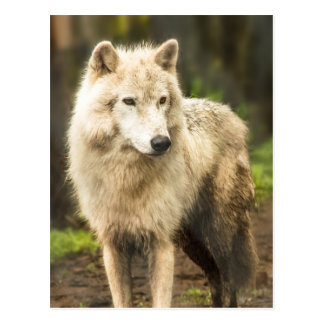 Wet Arctic Wolf in Spring Photo Postcard
