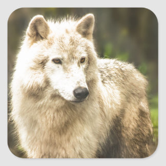 Wet Arctic Wolf in Spring Photo Square Sticker