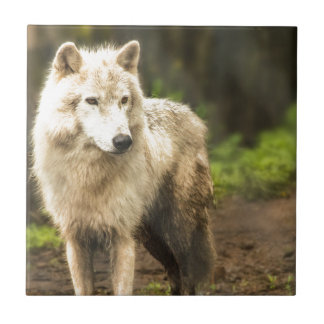 Wet Arctic Wolf in Spring Photo Tile