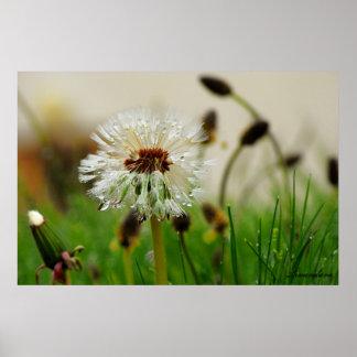 Wet Dandelion Poster