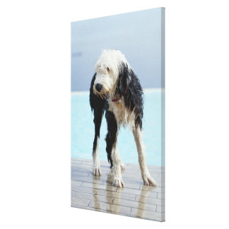 Wet Dog By a Swimming Pool Canvas Print