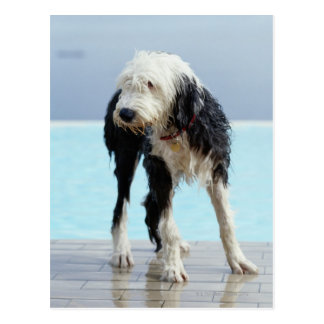 Wet Dog By a Swimming Pool Postcard
