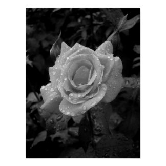 Wet Rose Poster