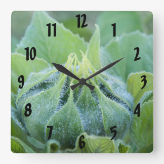 Wet Sunflower Bud Close Up Photograph Square Wall Clock