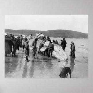 Whale at Neah Bay, Washington, 1910 Poster