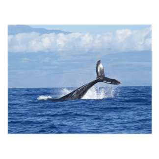 Whale Diving in Ocean, Fluke, Tail out of Water Postcard