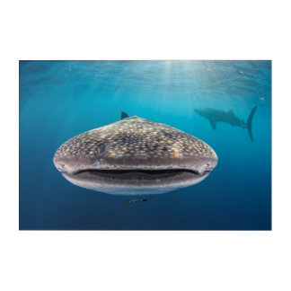 Whale Shark, Front view, Indonesia Acrylic Print