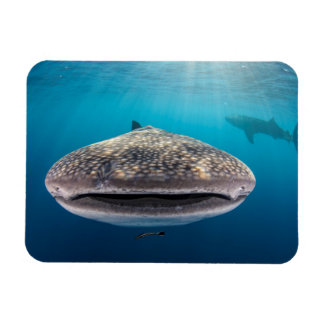 Whale Shark, Front view, Indonesia Magnet