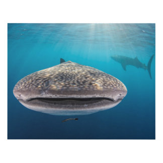 Whale Shark, Front view, Indonesia Panel Wall Art