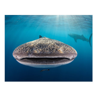 Whale Shark, Front view, Indonesia Postcard