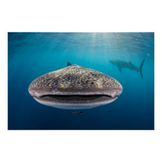 Whale Shark, Front view, Indonesia Poster