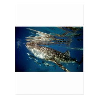 Whale shark Oslob Philippines Postcard
