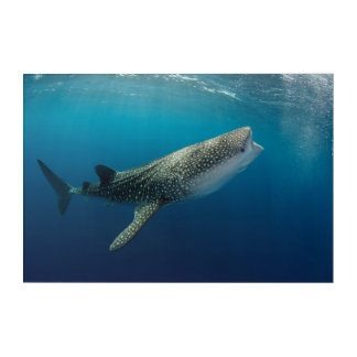 Whale Shark Swimming Acrylic Print