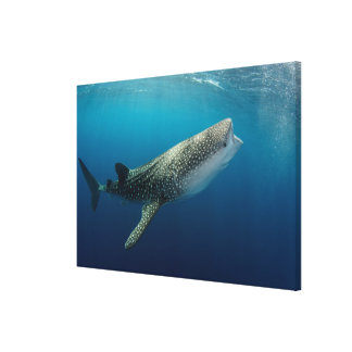 Whale Shark Swimming Canvas Print