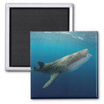 Whale Shark Swimming Magnet