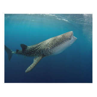 Whale Shark Swimming Panel Wall Art