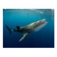 Whale Shark Swimming Postcard