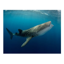 Whale Shark Swimming Postcard