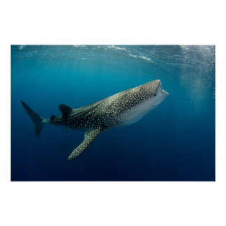 Whale Shark Swimming Poster
