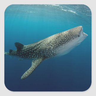 Whale Shark Swimming Square Sticker