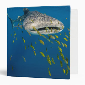 Whale Shark with fish, Indonesia 3 Ring Binder
