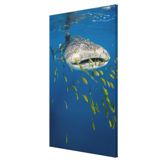 Whale Shark with fish, Indonesia Canvas Print