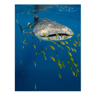 Whale Shark with fish, Indonesia Postcard
