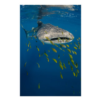 Whale Shark with fish, Indonesia Poster