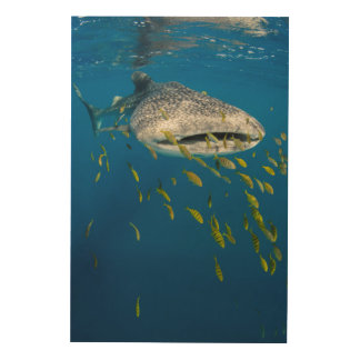 Whale Shark with fish, Indonesia Wood Print