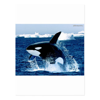Whale Splash Postcard