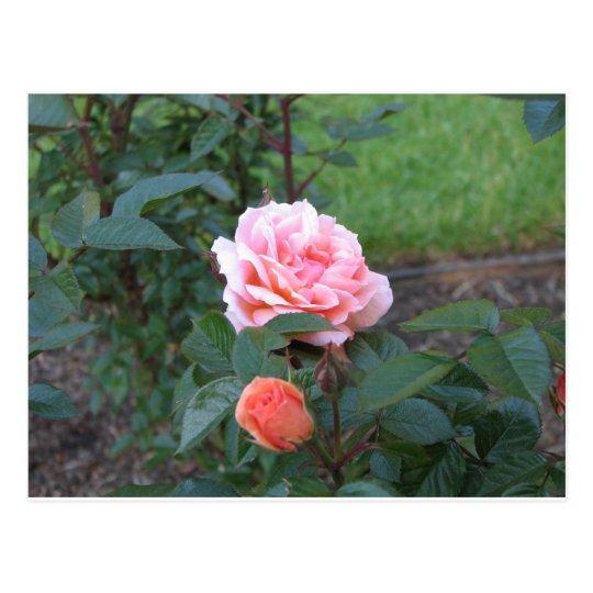What a Peach  022 Postcard