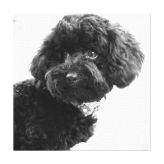What? / Black Toy Poodle in B&W Photography Canvas Print