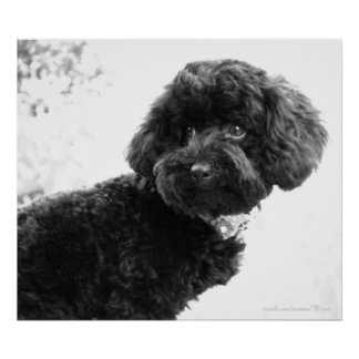 What? / Black Toy Poodle in B&W Print