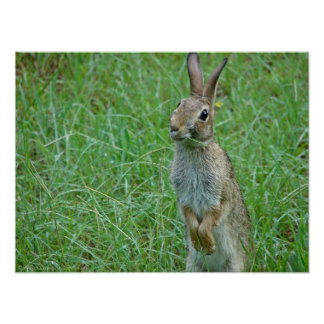 """What's Up Doc?"" Eastern Cottontail Rabbit Poster"