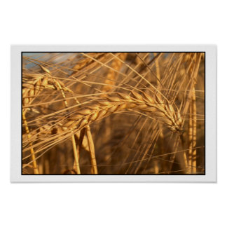 Wheat 3 poster