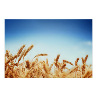 Wheat field against blue sky poster