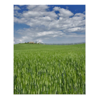 Wheat field and drive lined by stately cypress poster