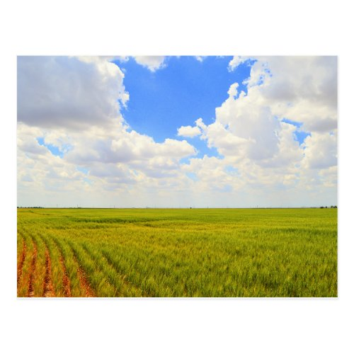 Wheat Field in Scott County, Kansas Postcard