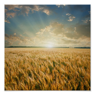 Wheat field on sunset poster