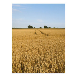 Wheat field postcard
