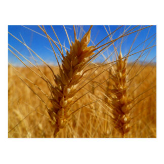 Wheat Postcard