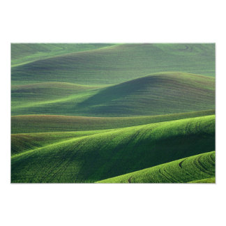 Wheat springs up in the hills of the Palouse Poster