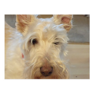 Wheaten Scottish Terrier Postcard