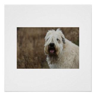 wheaten-terrier 2 poster
