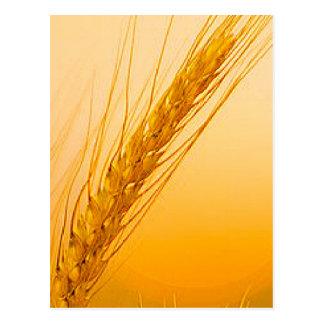 WheatSun Postcard