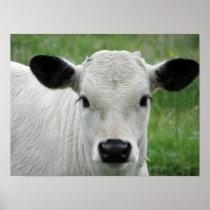 Whimsical White Calf Poster