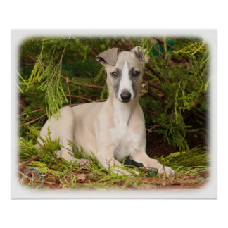 Whippet 9Y563D-005 Poster
